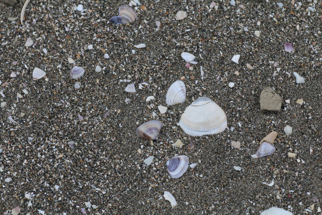 美しい貝殻@冬の白里海岸