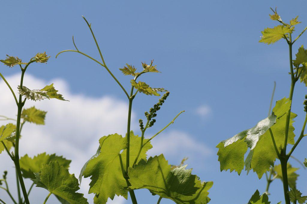 ブドウの芽と極若い実