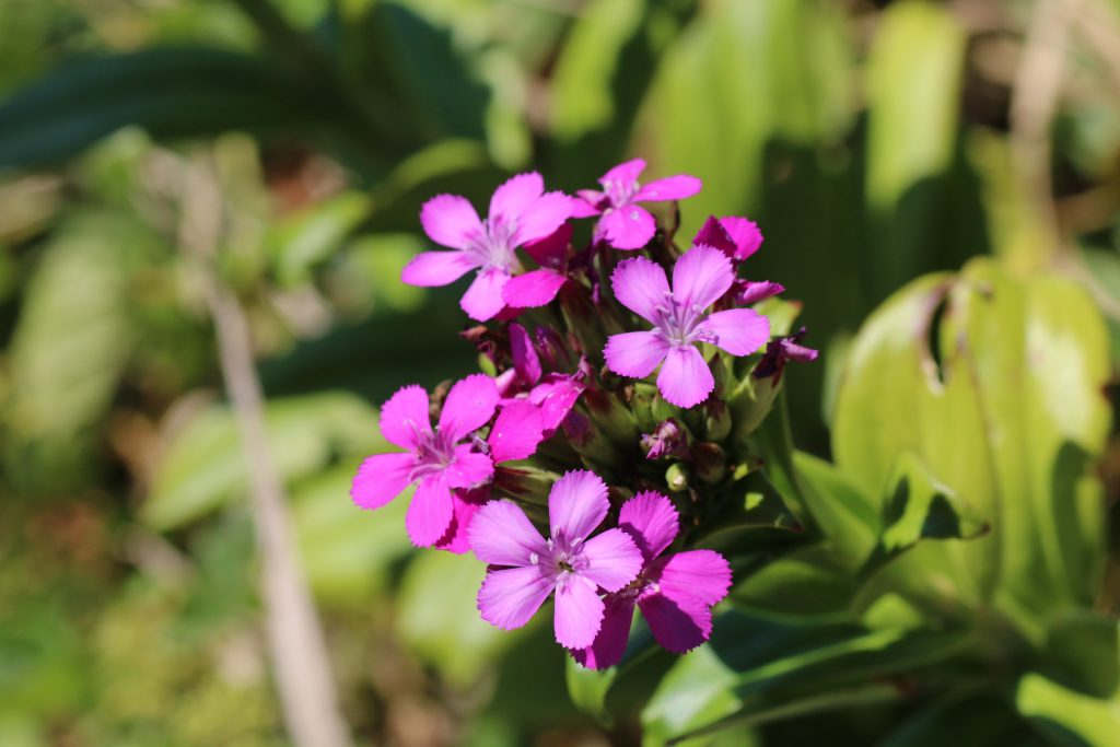 ハマナデシコの花(野島埼)