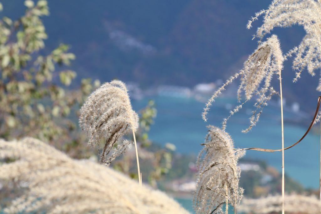小河内ダムを背景にススキ(2020年11月)