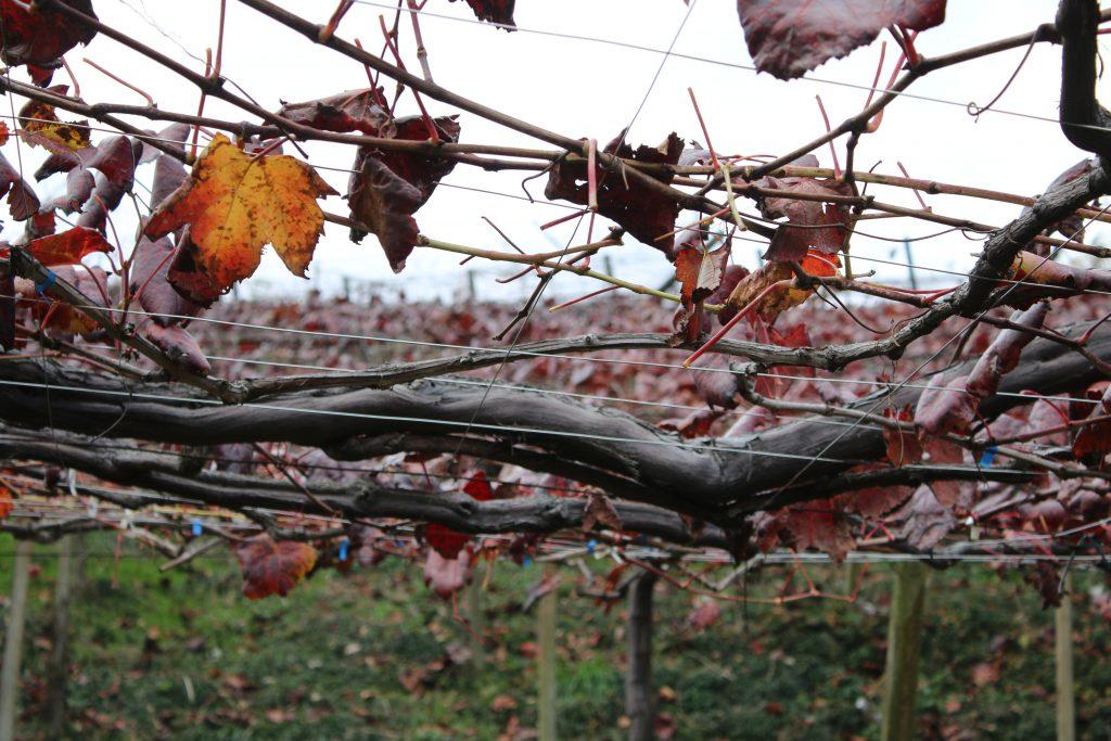 紅葉したブドウの棚の下から(2020年11月)
