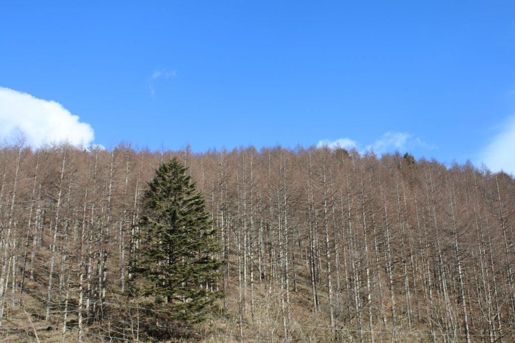 柳沢峠の木々(2020年12月)