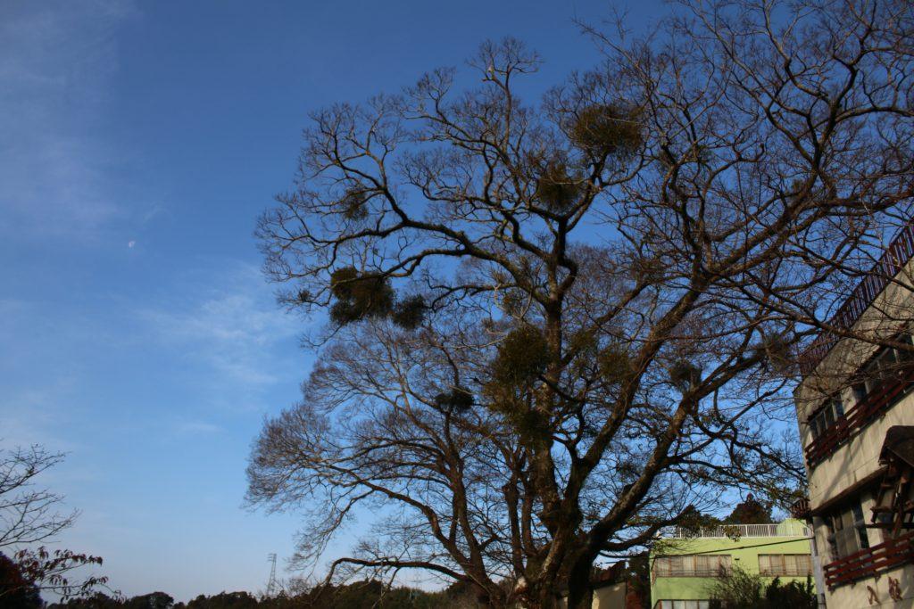 たくさん宿られている木(2021年1月)