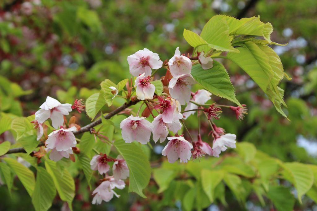 小室山公園の河津桜(2021年3月)
