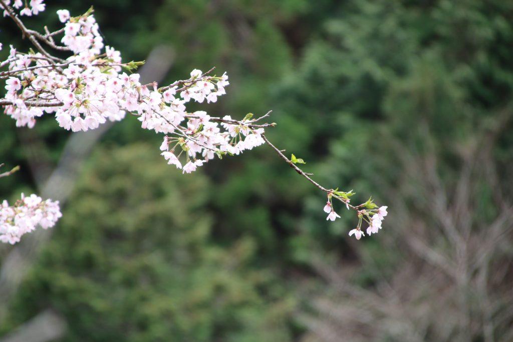 檜原村のヤマザクラ(2021年4月)