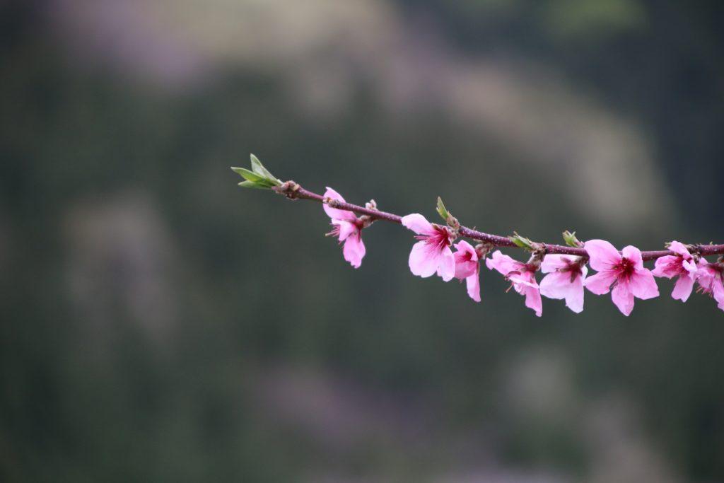 桃の花@甲州市(2021年4月)