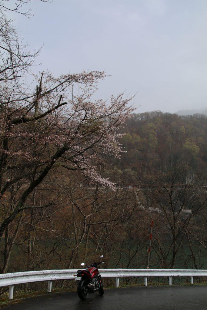 藤原ダムで山桜とNC750S(2021年4月)