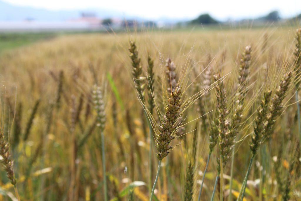 上州の麦(2021年5月)