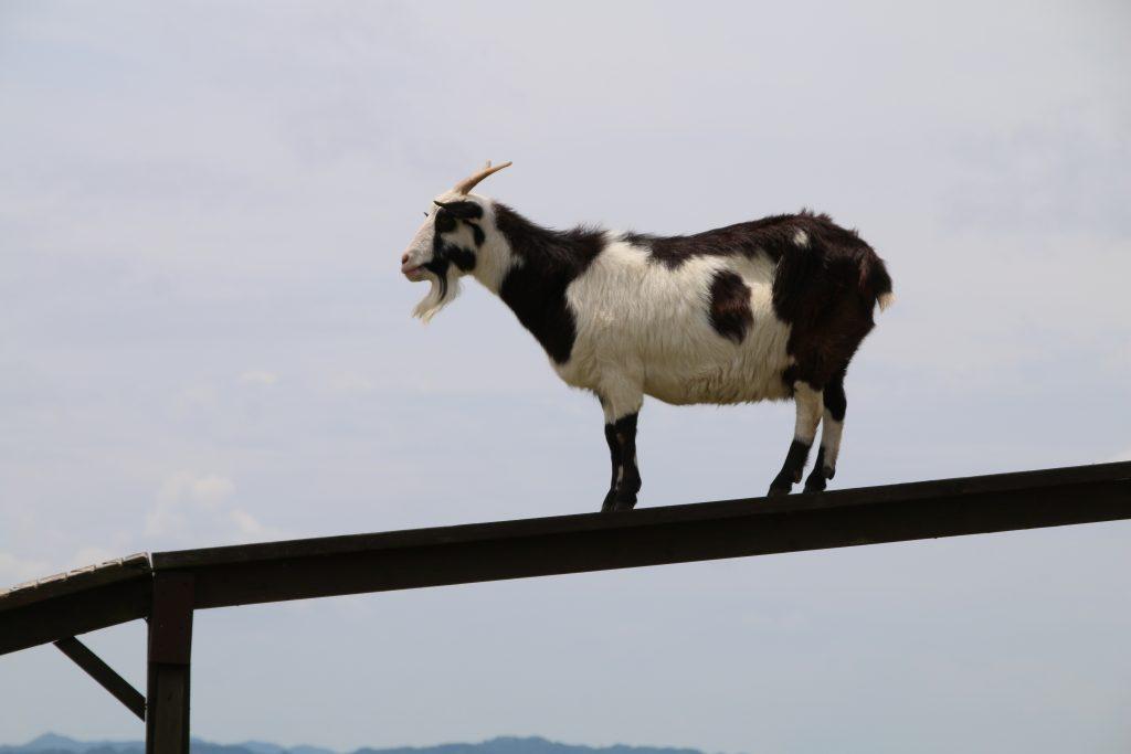 突如橋を渡るヤギ(2021年6月)