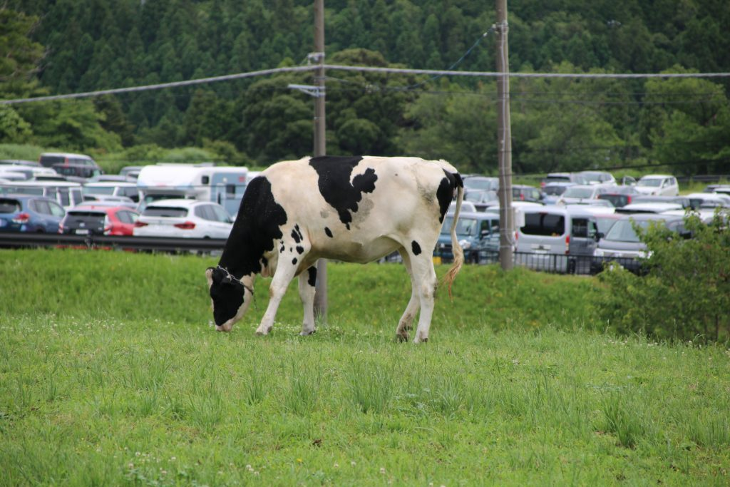 駐車場の前の牛(2021年6月)