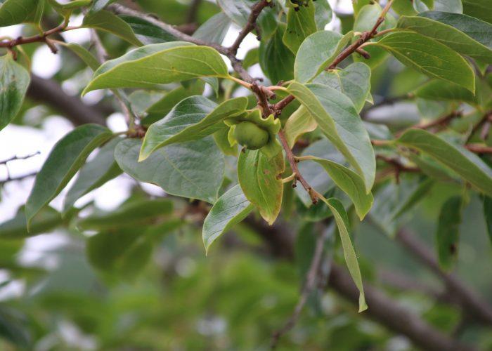 柿の若い実の写真(2021年6月)