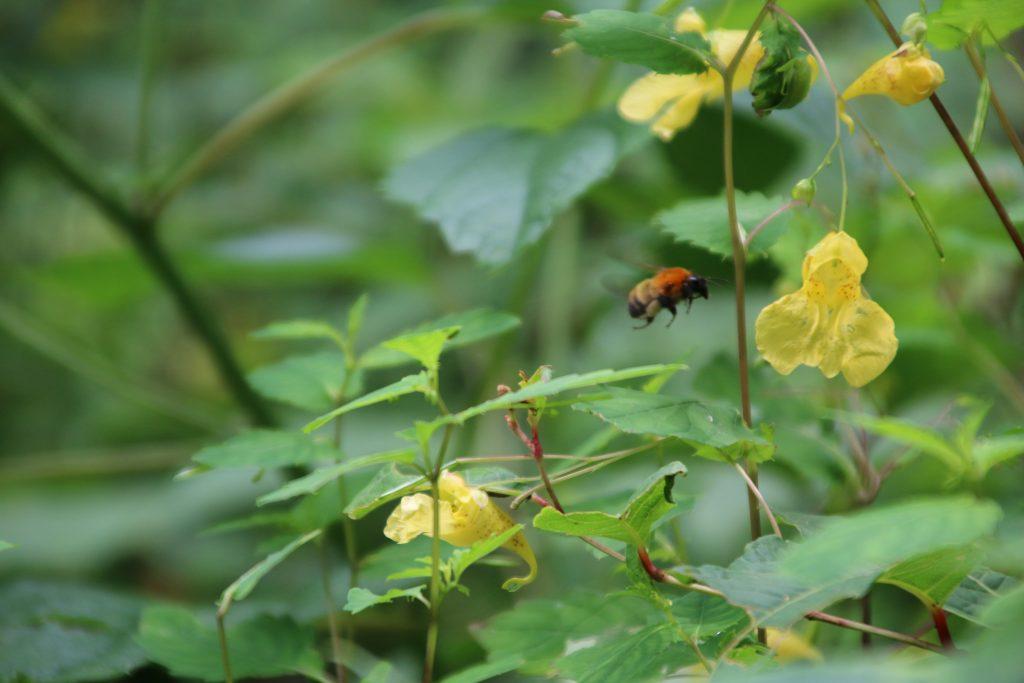 山野草とニホンミツバチ?(2021年7月)